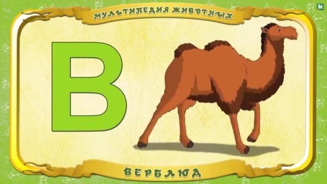 Мультипедия животных - Буква В - Верблюд